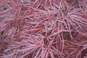 acer <I>palmatum</I><br/>'Crimson Queen'