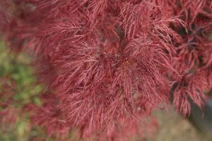 acer <I>palmatum</I><br/>'Red Filigree Lace'